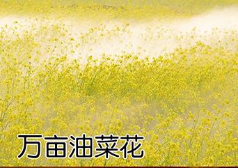 万亩油菜花